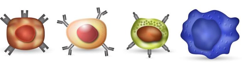 Celule T, Celule B, Celule ucigașe naturale, Macrofage